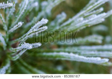 Pine Iced