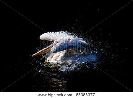 Big pelican