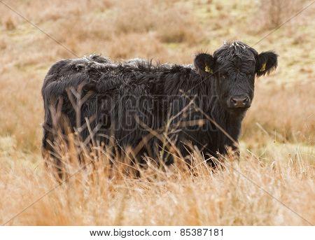 Welsh Black cow