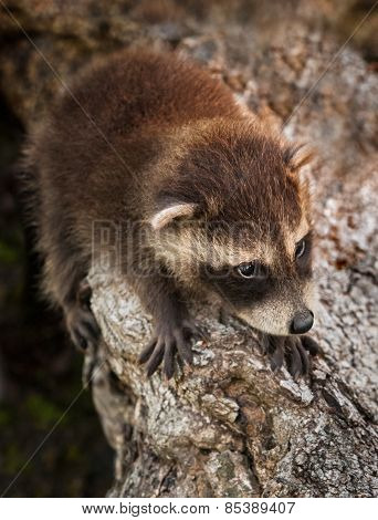 Baby Raccoon (procyon Lotor) Hangs On