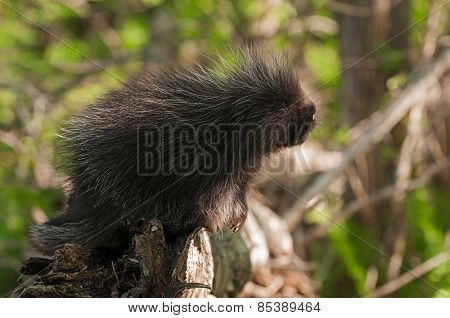 Porcupette (erethizon Dorsatum) Looks Up From End Of Branch