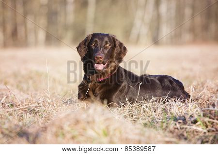 flat coated retriever dog outdoors