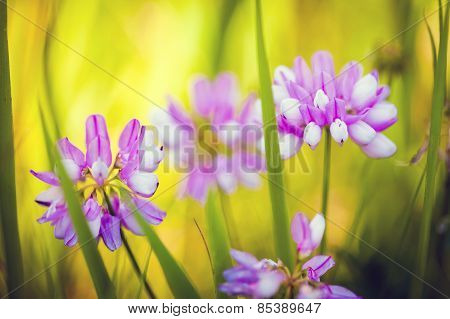 Wild Pink Spring Flowers On Green Meadow