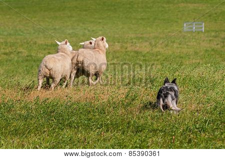 Stock Dog Herds Sheep Away (ovis Aries)