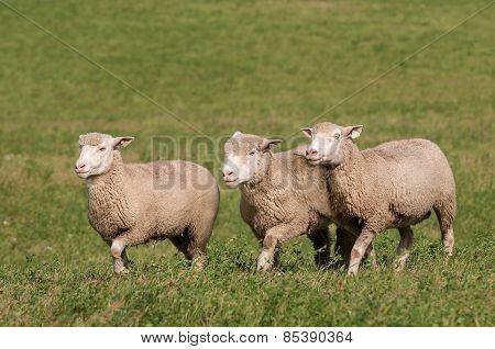 Three Sheep Run Across Pasture
