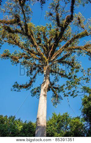 Sacred Mayan Tree, Traveling Tikal Ruins, Guatemala Adventure, Central America.