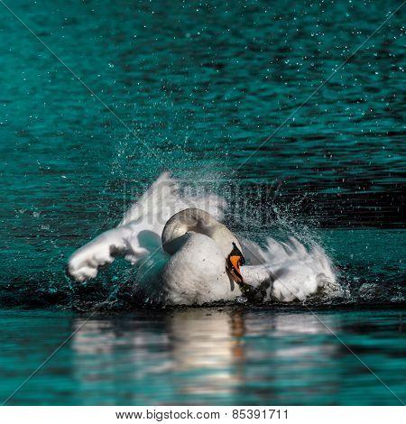 Wild swan taking a morning bath in the lake