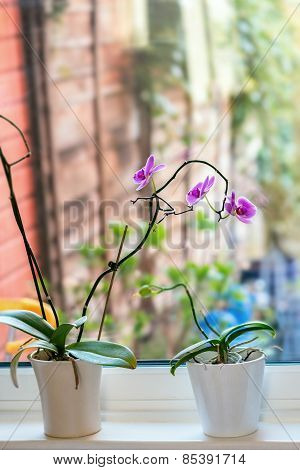 Tropical Orchid Phalaenopsis against window ledge and glass