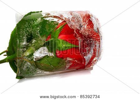 red rose frozen in an ice