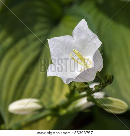 White bellflower (Campanula).