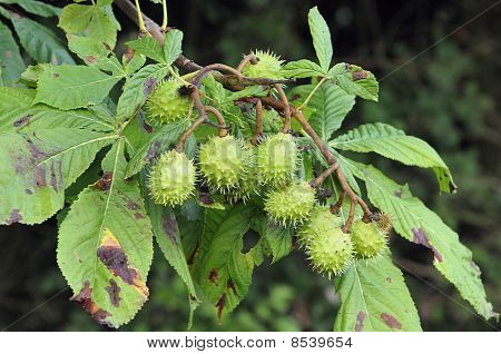 Conkers on Horse Chestnut Tree