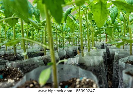 Small Tomato  Plants In A Greenhouse For Transplanting
