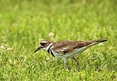 picture of killdeer  - Killdeer Charadrius vociferus walking in the grass looking for food - JPG