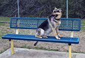 picture of shepherd  - German Shepherd on park bench having a good day - JPG