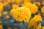picture of mexican  - Marigolds (Tagetes erecta, Mexican marigold, Aztec marigold, African marigold)