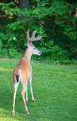 picture of antlers  - Whitetail buck with velvet antlers at the edge of a forest - JPG