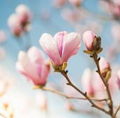 stock photo of magnolia  - Beautiful Pink Flowers of a Magnolia Tree - JPG