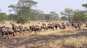 stock photo of wildebeest  - Herd of blue wildebeests Connochaetes taurinus moving in a row during the Great Migration between Serengeti National Park Tanzania and Maasai Mara National Reserve Kenya.