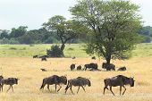 stock photo of wildebeest  - Small group of blue wildebeests Connochaetes taurinus moving in the savannah in Serengeti National Park Tanzania