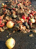 picture of rotten  - Picture of a rotten apples organic pollution concept - JPG
