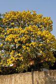stock photo of lapacho  - Yellow Lapacho tree in bloom in Asuncion Paraguay - JPG