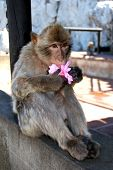 picture of ape  - Barbary Ape  - JPG