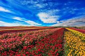 picture of grown up  -  Farmer fields with the flowers which are grown up for sale for export - JPG