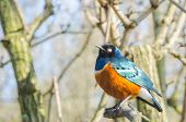 pic of ecosystem  - A profile portrait of a Superb Starling a type of bird commonly found in the scrubland and Savannah of Eastern Africa - JPG