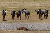 foto of hyenas  - A hyena and some wildebeests in Africa - JPG