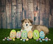 foto of collie  - Sweet Collie puppy laying in the grass with a spring sign in front of her with copy space - JPG