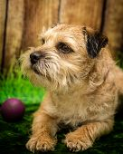 picture of border terrier  - A photograph of a Border Terrier dog  - JPG