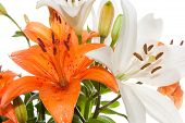 image of stargazer-lilies  - The orange Stargazer lily represents happiness, love, and warmth