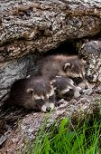 picture of huddle  - Baby Raccoons  - JPG