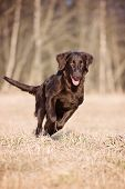 stock photo of coat  - chocolate flat coated retriever dog running outdoors - JPG