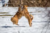 stock photo of mongrel dog  - Two Young mongrel dogs at play in the snow - JPG