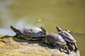 picture of terrapin turtle  - Three Turtles spotted in Golden Gate Park San Francisco