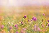 stock photo of red clover  - Flowering of red clover in meadow between other little meadow flowers