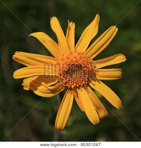 Arnica Montana, Medical Herb
