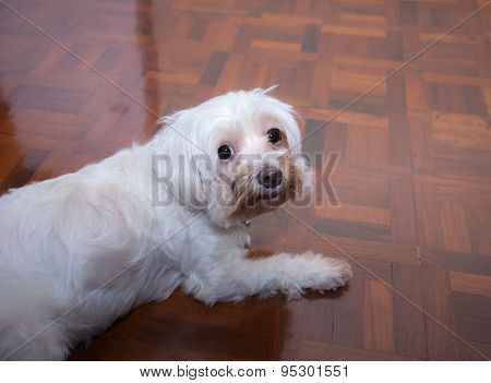 Top View Of White Puppy On The Floor