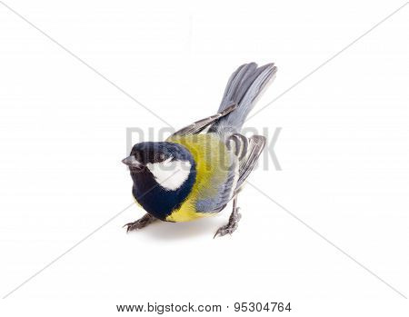 Bright Spring Bird Great Tit