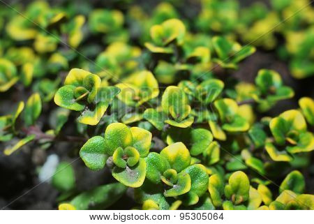 sprouts thyme closeup