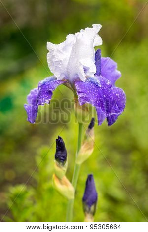 A Beautiful Young New Blue And White Iris Growing Outside During Spring
