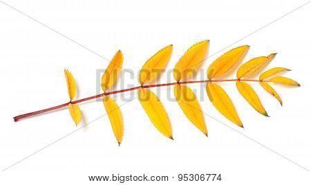 Yellow Autumn Rowan Leaf
