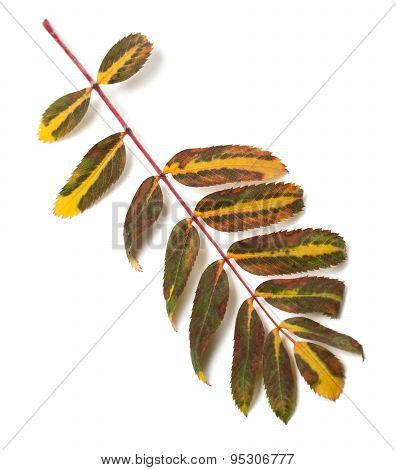 Multicolor Leaf Of Rowan On White Background
