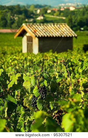 Grapes And Hut, Beaujolais, France