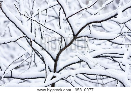 Tree After A Snowfall