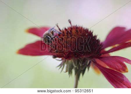 A Honey Bee On A Blanket Flower