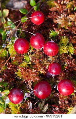 Berry Cranberries