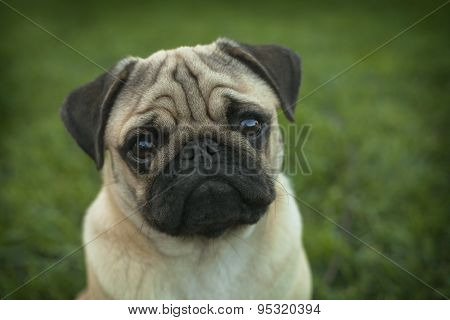 Portrait of Beautiful male Pug puppy dog siting in front of the grass background
