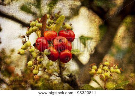 Shrub with lots of red berries on branches, autumn harvest backg